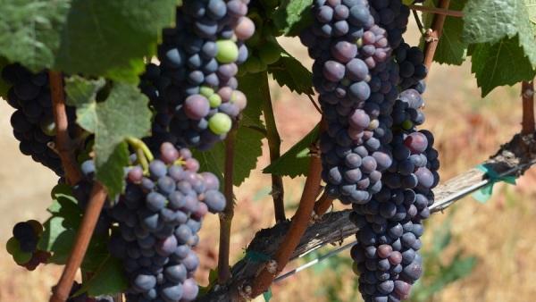 maturing_grapes